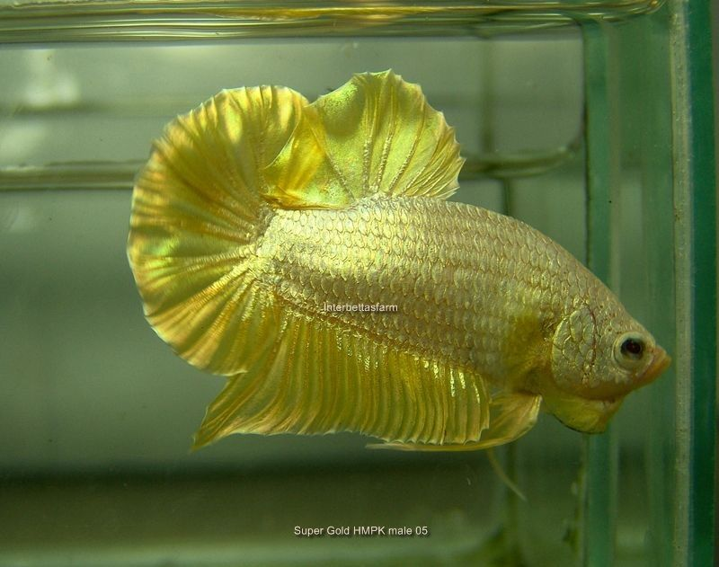 Gold Betta Fish Image