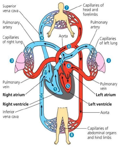 Gambar Skema Peredaran Darah : gambar, skema, peredaran, darah, Peredaran, Darah, Kecil, Besar, Manusia