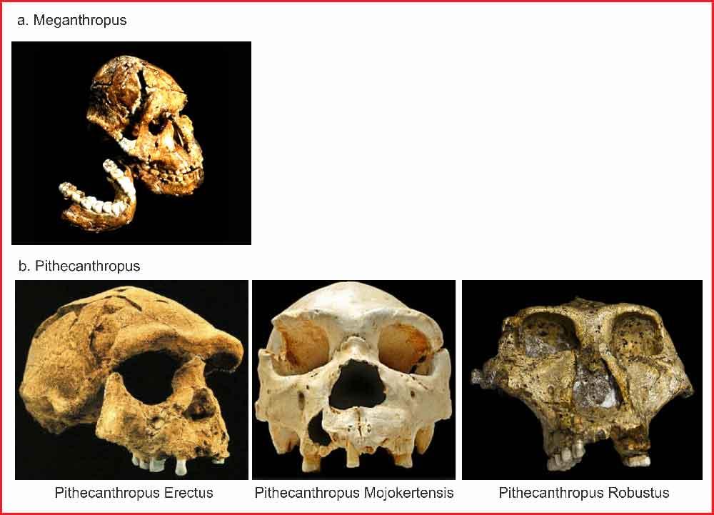 Jenis Jenis Manusia Purba Di Indonesia Dan Dunia Secara Lengkap Berkas Ilmu
