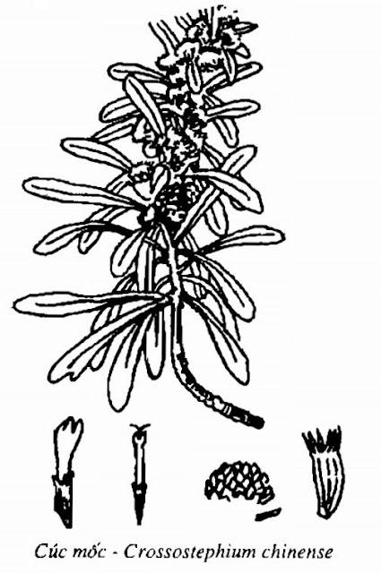 Hình vẽ Cúc Mốc - Crossostephium chinense - Nguyên liệu làm thuốc Chữa Cảm Sốt