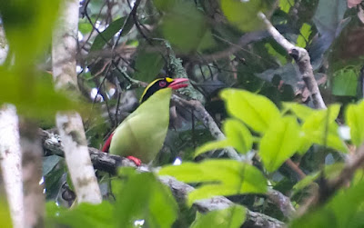 Common Green Magpie (Cissa chinensis)