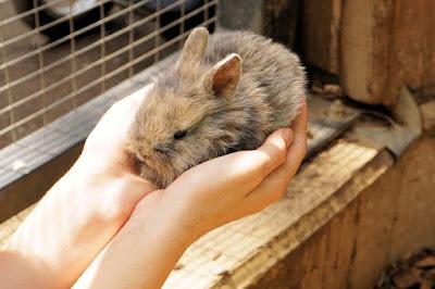 kelinci peliharaan