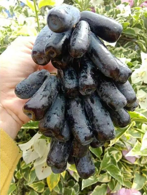 bibit buah anggur import moondrop asli valid Sumatra Barat
