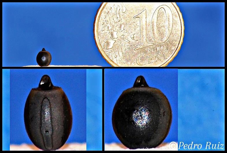 Huevo de Phaenopharos khaoyaiensis.