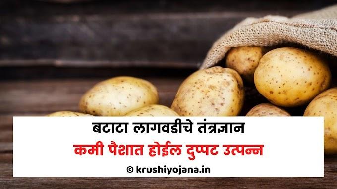 बटाटा लागवडीचे तंत्रज्ञान । कमी पैशात होईल दुप्पट उत्पन्न
