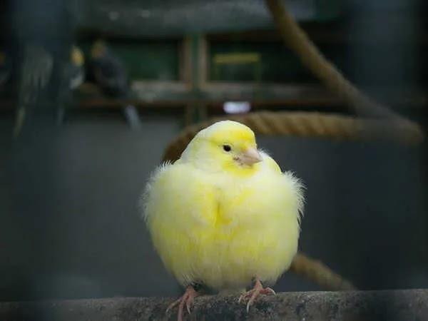 Perbedaan Burung Kenari Jantan dan Betina Saat Muda