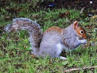 English squirrel