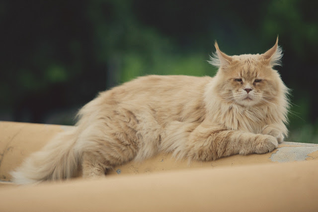 What to Know Before Adopting a Maine Coon