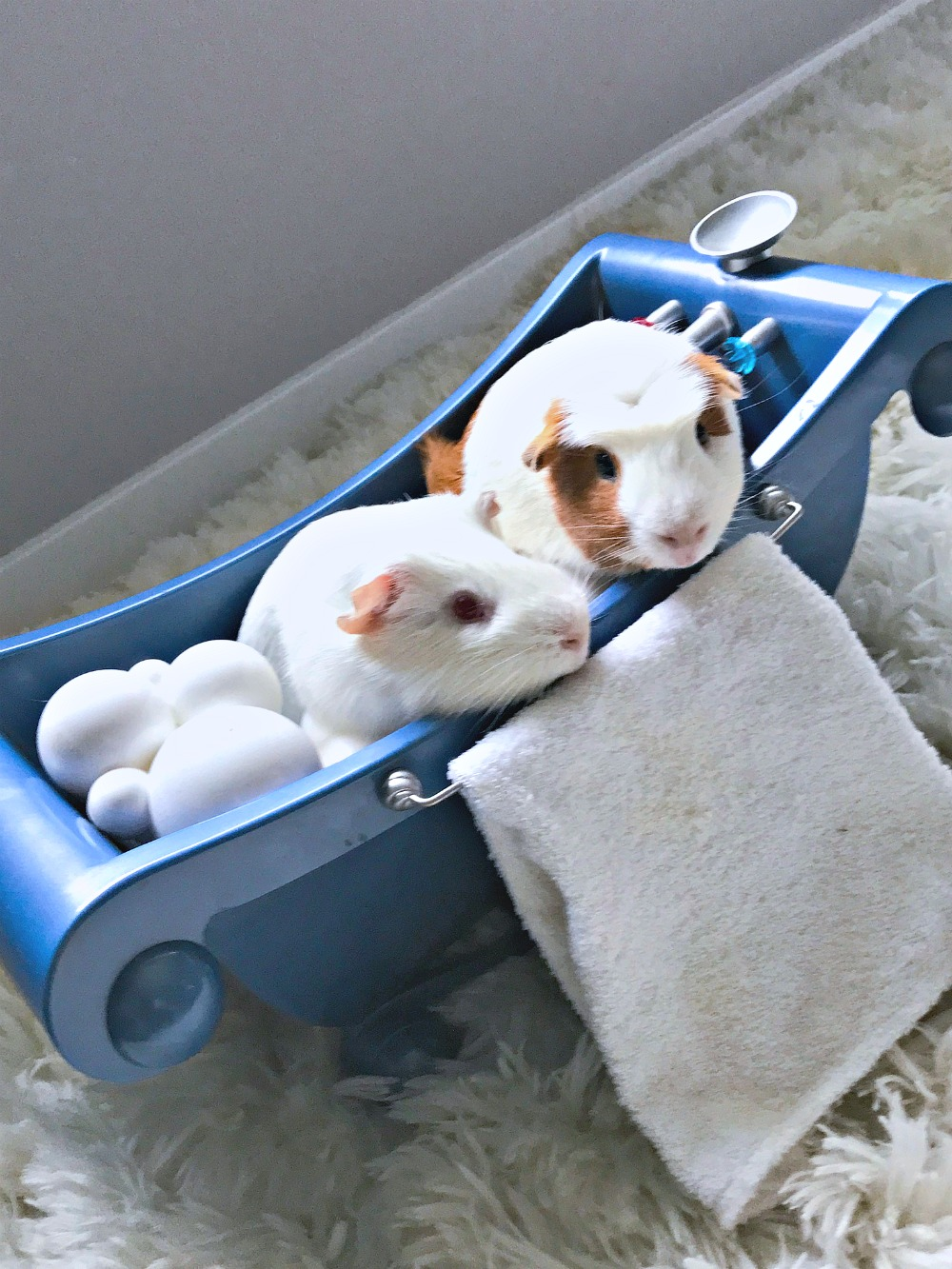guinea pigs as a first pet