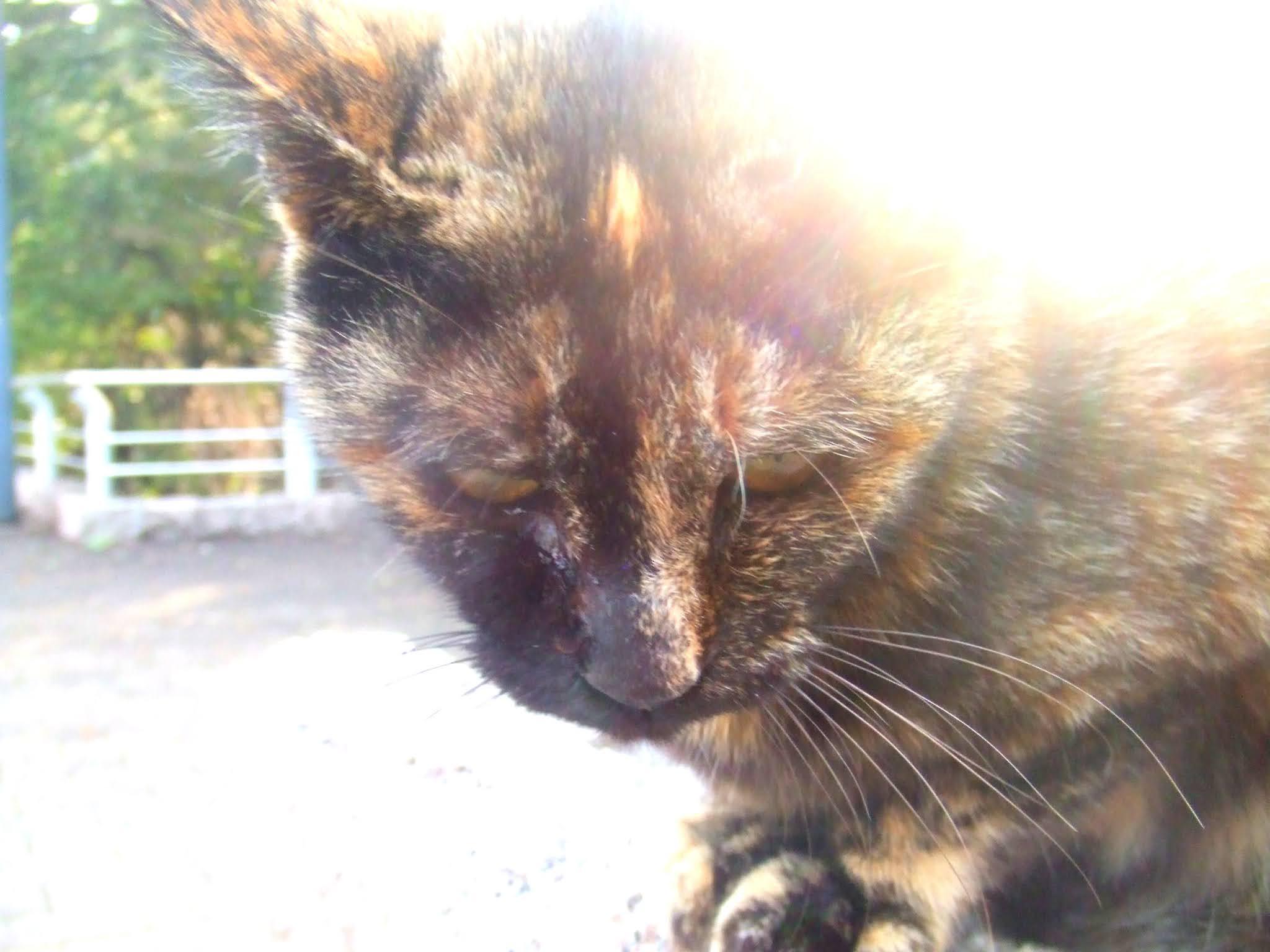 猫さんのアップの写真です。サビ猫さんの、真正面からの堂々たる雰囲気。猫ブログなどにどうでしょう。