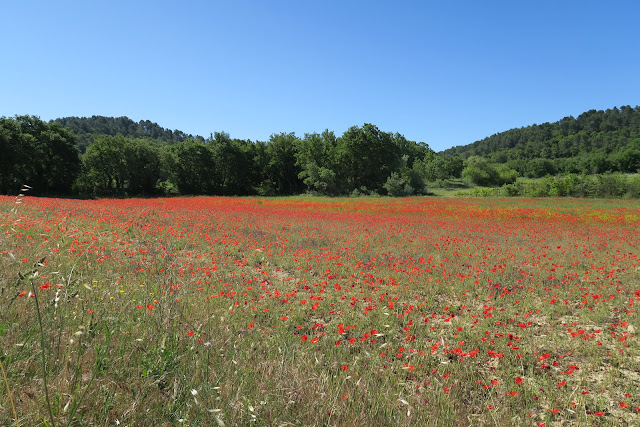Field of poppies - Luberon