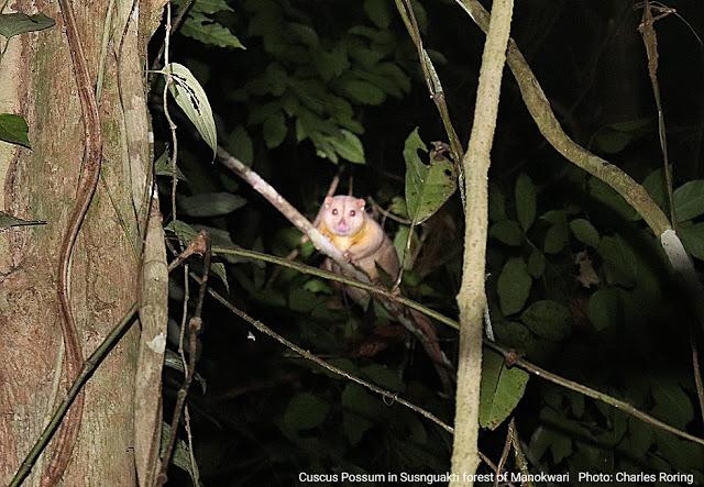 Cuscus Possum