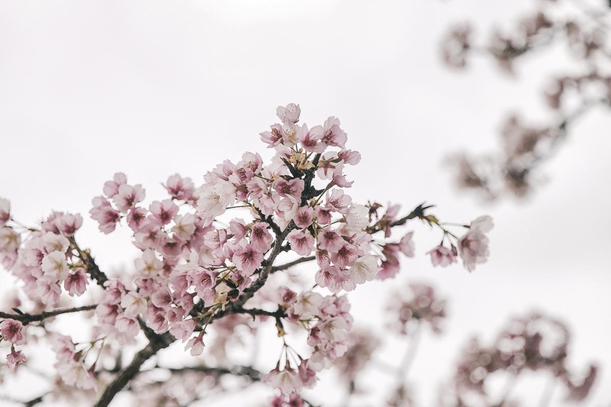 blooming tree, ronda, cherrytree, cherryblossoms, kirsikkapuu, valokuvaaja, Frida Steiner