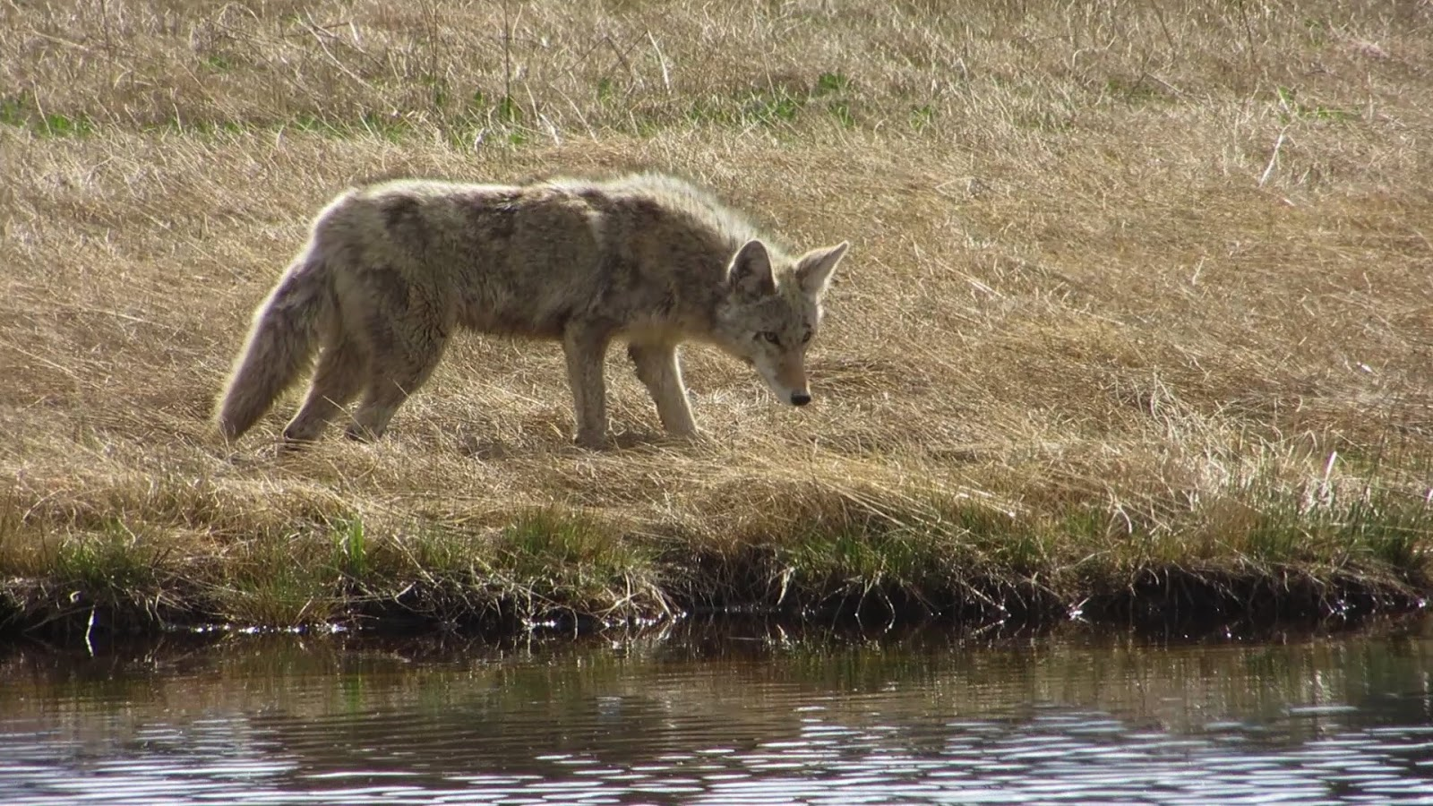 Tales From The Camping House: Yellowstone Lamar Valley And