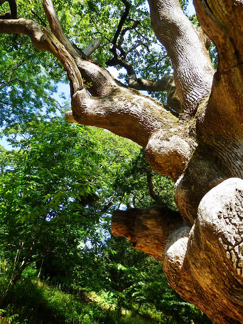 An old tree at heligan