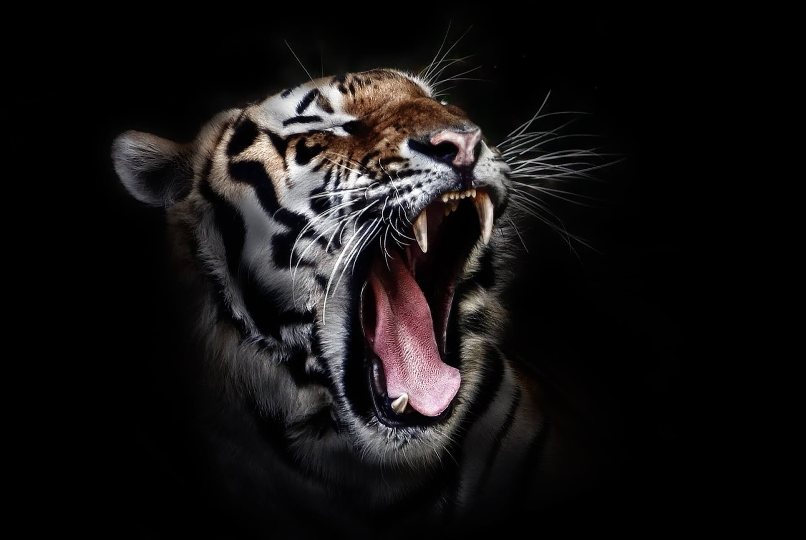 tiger pictures to print