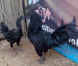 Ayam Cemani Dewasa Sepasang