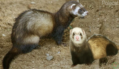 polecat, polecat animal