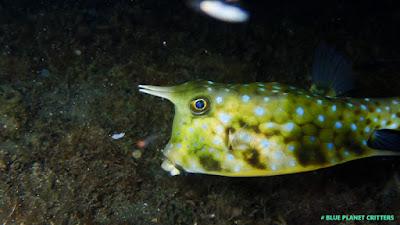 Underwater photography 水攝 Macro 微距 Scuba dive 潛水 Anilao 阿妮洛 TG4