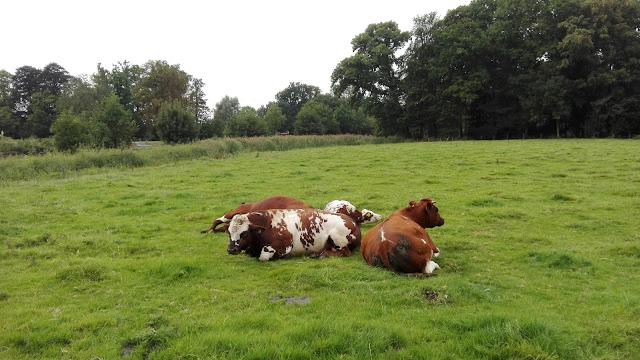 Koeien in het weiland van de kloostertuin