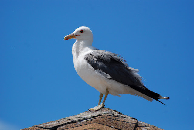 Larus californicus