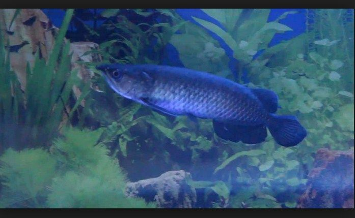 Ikan Arwana Black Brazil
