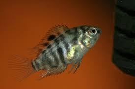 convict 3cm ikan hias air tawar