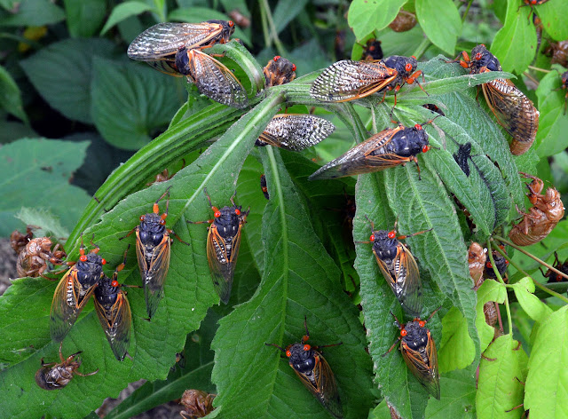 A group of cicadas on some leaves