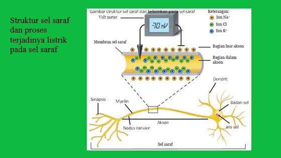 sel saraf terdiri atas dendrit, badan sel, akson (tempat terjadinya kelistrikan) dan sinapsis
