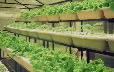 Usaha Sayuran Organik