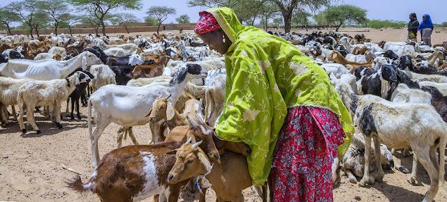 En Níger, las cabras son susceptibles a padecer de la peste de los pequeños rumiantes.©FAO/Andrew Esiebo