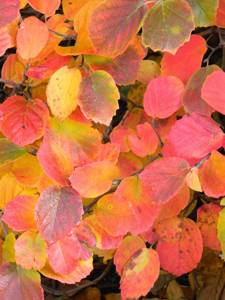 Fall foliage dwarf fothergilla Fothergilla gardenii Toronto Botanical Garden by garden muses-not another Toronto gardening blog