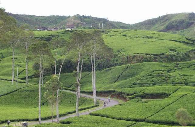 Pariwisata Ciwidey Tea Plantation Tour In Bandung West Java