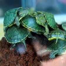 Mengenal Lebih dekat dengan kura-kura Brazil (RES)