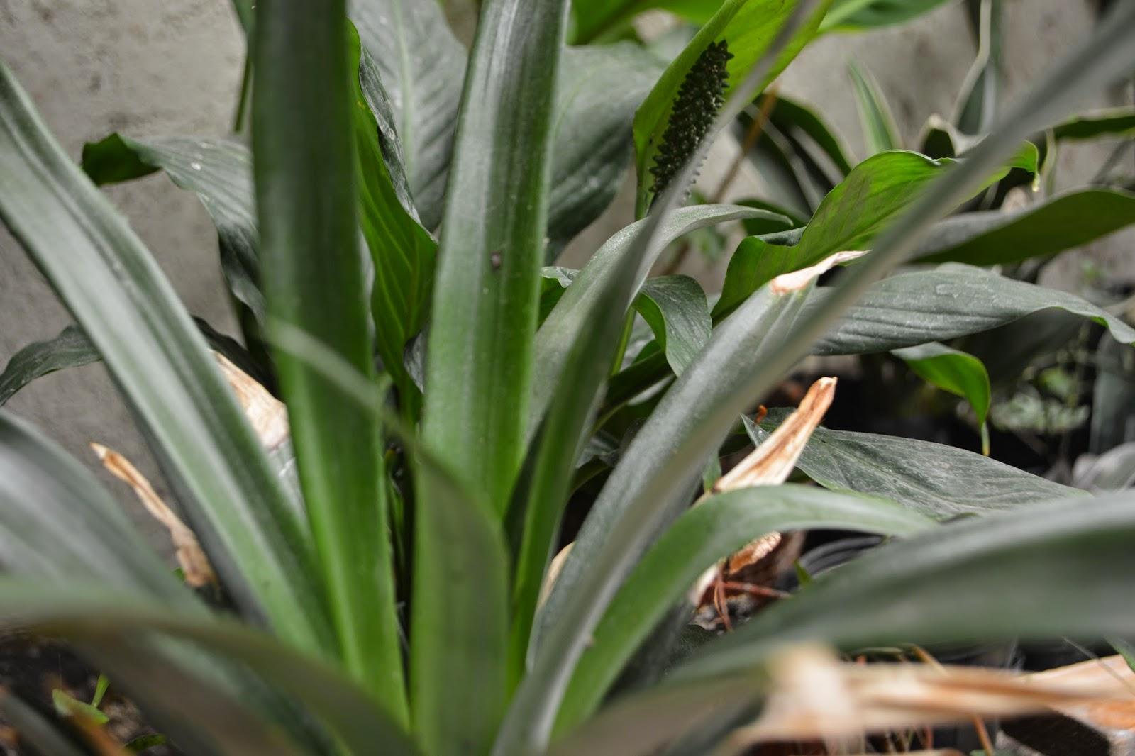 Planta de ananá. Bromelia. Ananas comosus. Cultivo en maceta.