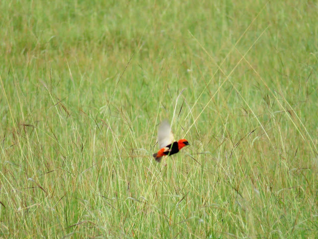 Awesome Uganda Bird Photos: Southern Red Bishop bird in Uganda
