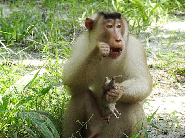 Kera tangkap tikus untuk dijadikan makanan bantu kawal serangan tikus ke kebun kelapa sawit