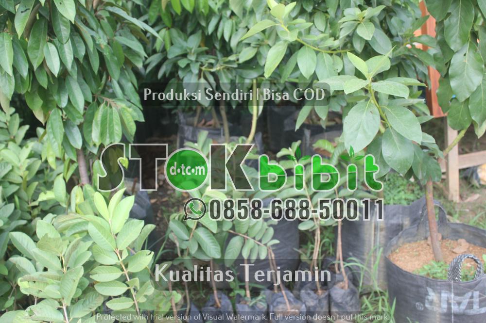 Bibit jeruk Bersertifikat | Bibit jeruk Keprok RGL | Bibit Jeruk Keprok Batu 55 | Bibit Jeruk Siam      Lengkap     Grosir