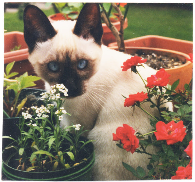 kittens, siamese, container gardening, Anne Butera, My Giant Strawberry