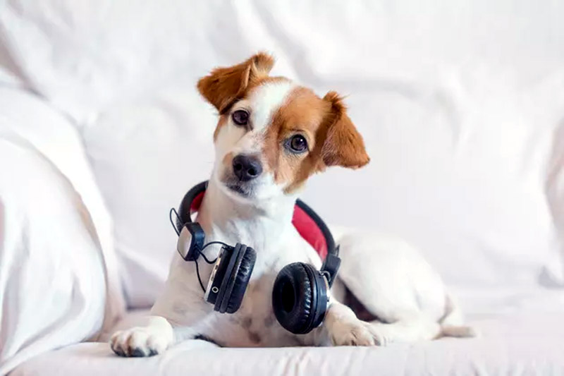 Does Loud Music Hurt Dogs' Ears?