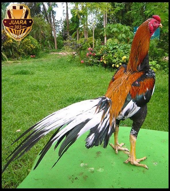 Tips Melatih Ayam Aduan Agar Sekali Pukul K.O - Juara303