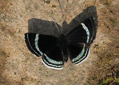 Mariposa lineas brillantes (Chalodeta theodora)