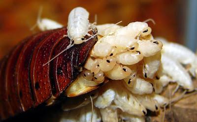 Narodziny młodych karaluchów