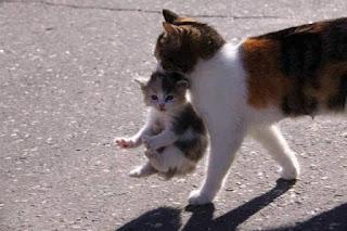 Induk Kucing Menggigit Anaknya