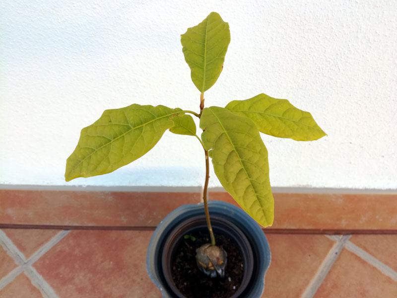 Avocado da seme