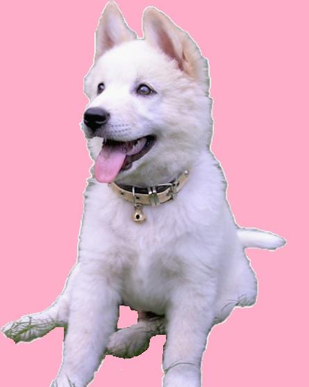 Tips Cara Merawat Anjing Kintamani Terbaru