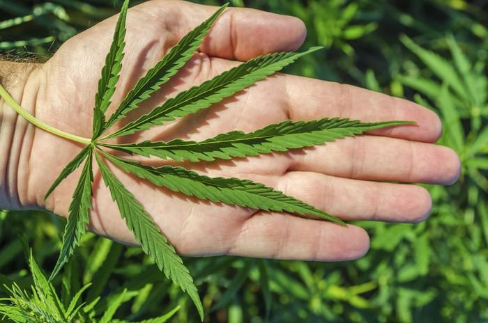 BNN Tanggapi Penetapan Ganja Sebagai Tanaman Obat: Ini Bertentangan dengan UU!