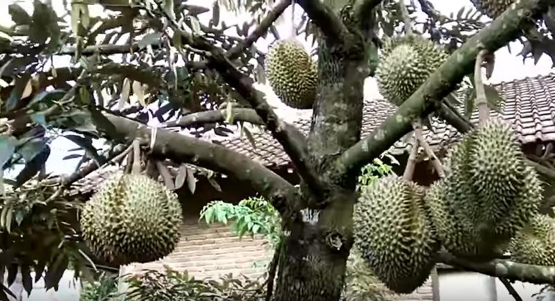 Peluang Usaha Menjanjikan Budidaya Durian Untuk Pemula 2