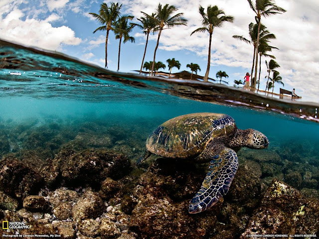 Green Turtle, Hawaii