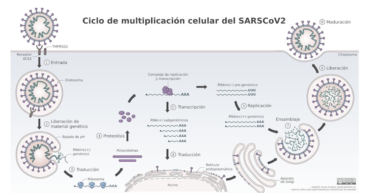 Microbio El Coronavirus Chino Un Ano Despues Las Vacunas